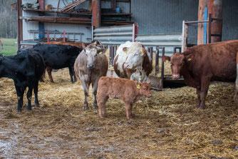 Rinder der Familie Heid (Foto: B. Budig)
