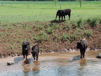 Heckrinder, auch Konikpferde verhindern die Verbuschung des Entwicklungskorridores zwischen Albisheim und Zellertal. Der Kooperationspartner NABU betreut die Beweidungsmaßnahme.