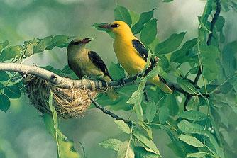 Pirole am Nest - Foto: Hans Pollin