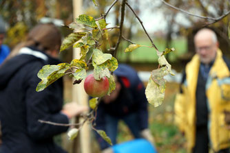 NABU pflanzt junge Obstbäume. Foto: NABU/M. Gräwe.