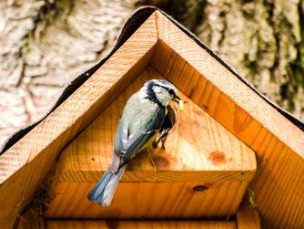Blaumeisen fühlen sich im Naturgarten wohl. - Foto: Kathy Büscher