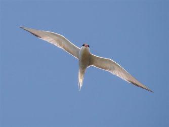 Flinker Flugkünstler: Die Flussseeschwalbe. - Foto: Kathy Büscher