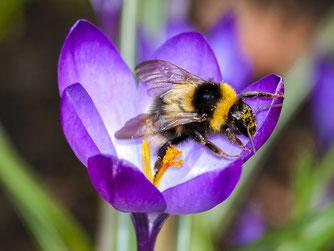 Erdhummel auf Krokus-Blüte. - Foto: Kathy Büscher