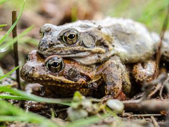 Ein Grasfrosch-Doppeldecker. - Foto: Kathy Büscher