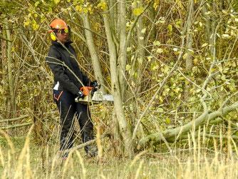 Mit der Motorsäge werden die Weiden geschnitten. - Foto: Kathy Büscher