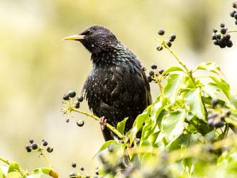 Frühere Allerweltsvögel wie der Star sind rar geworden. - Foto: Kathy Büscher