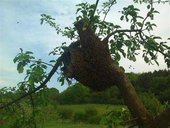 Der Bienenschwarm hat sich an einem Vogelkasten an einem Baum niedergelassen. - Foto: Dennis Dieckmann