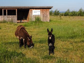 Die Esel auf der Weide am Stichweg. - Foto: Kathy Büscher