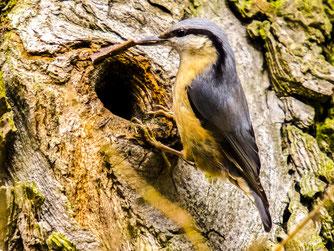Viele Vogelarten, wie hier der Kleiber, sind auf Baumhöhlen angewiesen. - Foto: Kathy Büscher