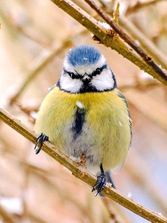 Die flinken Blaumeisen lassen sich in den meisten Gärten beobachten. - Foto: Kathy Büscher