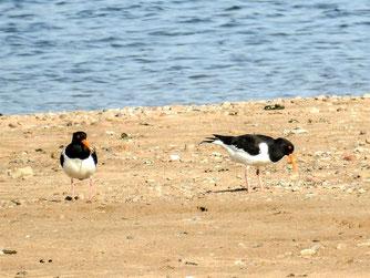 Das Austernfischer-Paar auf der flachen Insel. - Foto: Kathy Büscher