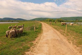 Auf dem Stichweg sind seit einigen Jahren vierbeinige Landschaftspfleger im Einsatz. - Foto: Kathy Büscher