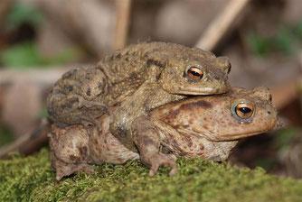 Erdkröten-Doppeldecker an der Arensburg. - Foto: Kathy Büscher