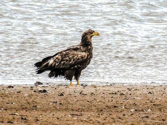 Junger Seeadler auf der flachen Insel in der Auenlandschaft. - Foto: Kathy Büscher