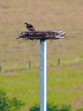 Der Fischadler sitzt schon mal Probe auf dem für ihn errichteten Horst. - Foto: Kathy Büscher