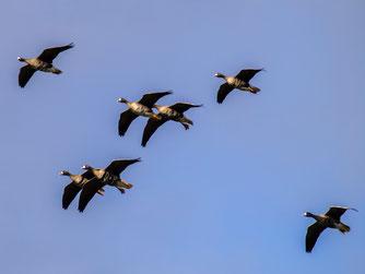Fliegende Blässgänse am Himmel. - Foto: Kathy Büscher