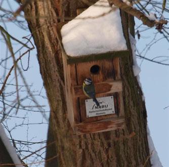 Blaumeisen fliegen auch im Winter Nistkästen an. - Foto: Kathy Büscher