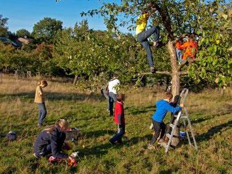 Vor dem Apfelfest werden von der NAJU Äpfel für die Presse geerntet. - Foto: Kathy Büscher