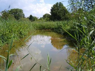 Schilfwiese Strücken im Aug. 2008 - Entwicklung eines natürlichen Biotopes. - Foto: Kathy Büscher