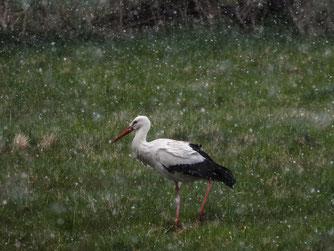 Weißstorch am Heinekamp im Schnee. - Foto: Kathy Büscher