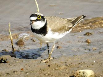 Viele Vogelarten, hier ein Flussregenpfeifer, nutzen die Auenlandschaft als Biotop. - Foto: Kathy Büscher