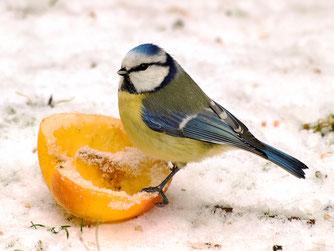 Eine Blaumeise belagert einen Apfel. - Foto: Kathy Büscher