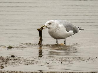Möwe mit Beute auf der flachen Insel. - Foto: Kathy Büscher