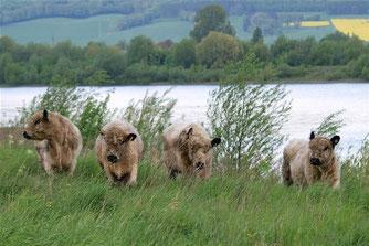 Die Galloways in der Auenlandschaft. - Foto: Kathy Büscher