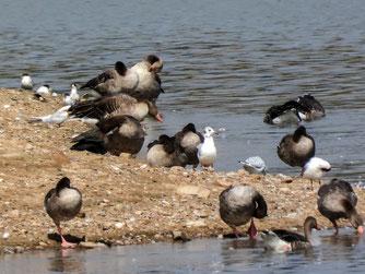 Graugänse, Lachmöwen und Flussseeschwalben. - Foto: Kathy Büscher