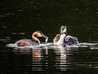 Haubentaucherfamilie auf dem östlichen Teich. - Foto: Kathy Büscher