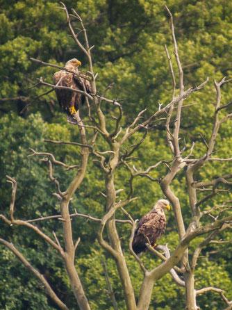 Die Seeadler zeigten sich in der Auenlandschaft. - Foto: Kathy Büscher