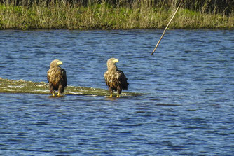 Auch die Seeadler kann man beobachten. - Foto: Kathy Büscher