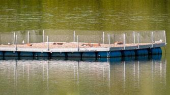 Auch in diesem Jahr brüteten die Flussseeschwalben erfolgreich in Hohenrode. - Foto: Kathy Büscher