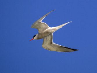 Fliegende Flussseeschwalbe. - Foto: Kathy Büscher