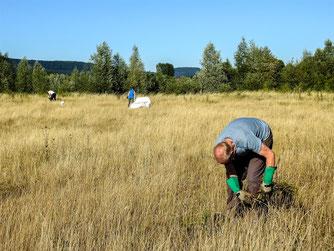 Auf der Weide am Stichweg wird das Jakobskreuzkraut gezogen. - Foto: Kathy Büscher