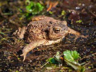 Sind bald wieder unterwegs: Amphibien, hier eine Erdkröte. - Foto: Kathy Büscher
