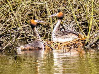 Natürlicherweise brüten Haubentaucher an Gewässerrändern mit Baumbewuchs. - Foto: Kathy Büscher