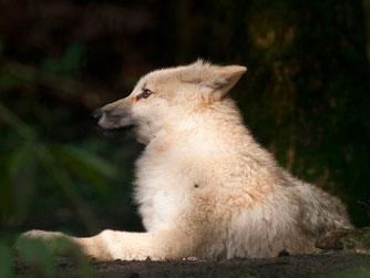 Jungwolf in Dörverden. - Foto: Kathy Büscher