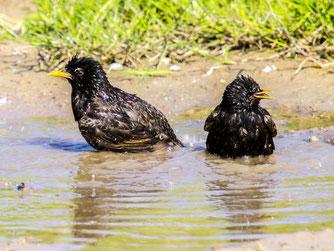 Zwei badende Stare. - Foto: Kathy Büscher