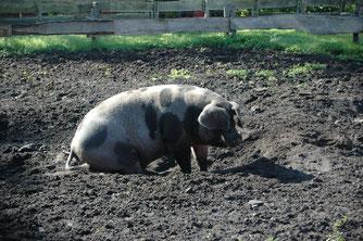 Ein Schwein in einer Matsch-Kuhle. - Foto: Britta Raabe