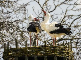 Bereits nach wenigen Tagen balzten die Störche auf dem Nest. - Foto: Kathy Büscher