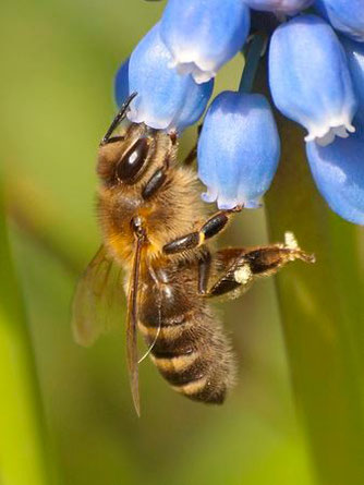 Eine Honigbiene an einer Hyazinthenblüte. - Foto: Kathy Büscher