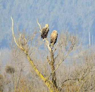 Das Seeadler-Paar in der Auenlandschaft auf einer großen Kopfweide. - Foto: Kathy Büscher