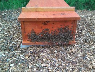 Der Bienenschwarm ist in die Bienenkiste eingezogen. - Foto: Dennis Dieckmann