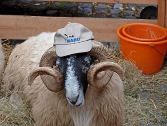 Scottish-Blackface-Schaf des NABU Lippe mit passender Kopfbedeckung. - Foto: Kathy Büscher