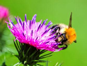 In blühenden Gärten fühlen sich auch Ackerhummeln wohl. - Foto: Kathy Büscher