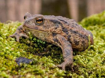 Erdkröten sind auch auf Streuobstwiesen zu finden. - Foto: Kathy Büscher