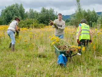 Per Hand werden die Pflanzen aus der Weide am Stichweg von den Ehrenamtlichen herausgerissen. - Foto: Kathy Büscher