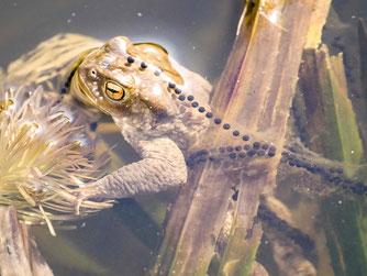 Eine glückliche Erdkröte im Teich mit Laichschnüren. - Foto: Kathy Büscher