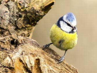 Blaumeisen sind häufig zu Gast im Garten. - Foto: Kathy Büscher